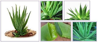 Aloe Vera For Health Benefits