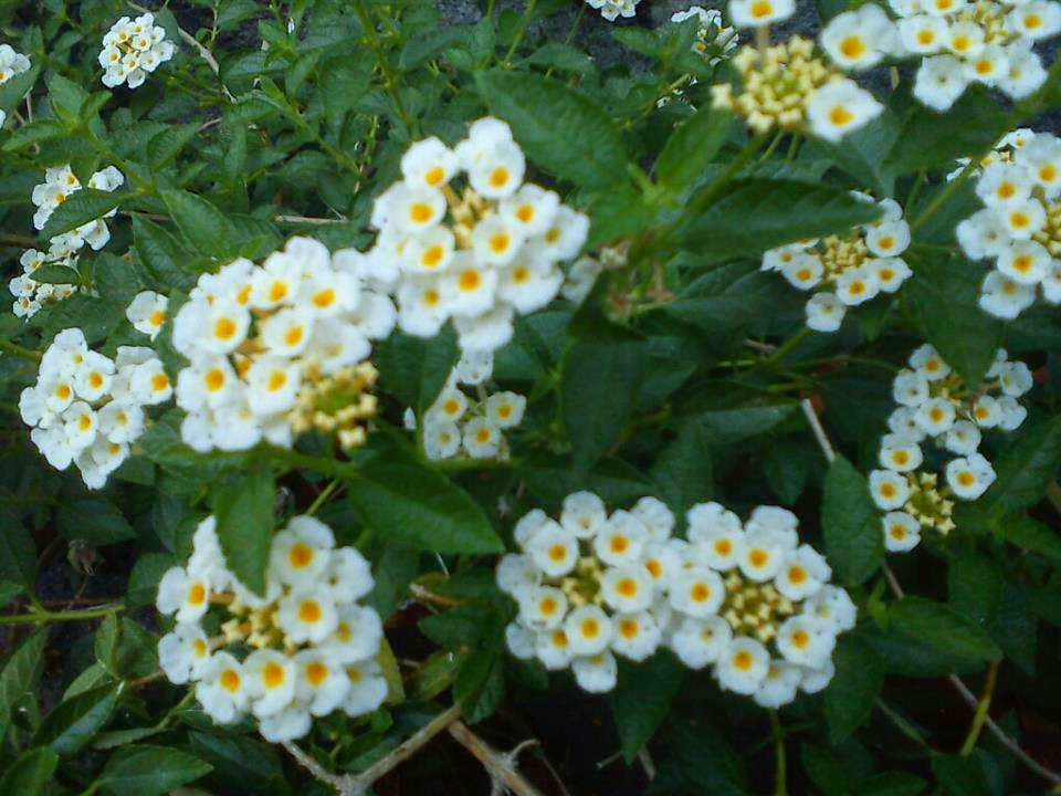 Jual bunga lantana camara | aneka tanaman | aneka rumput suplier tanaman | jasa desain taman