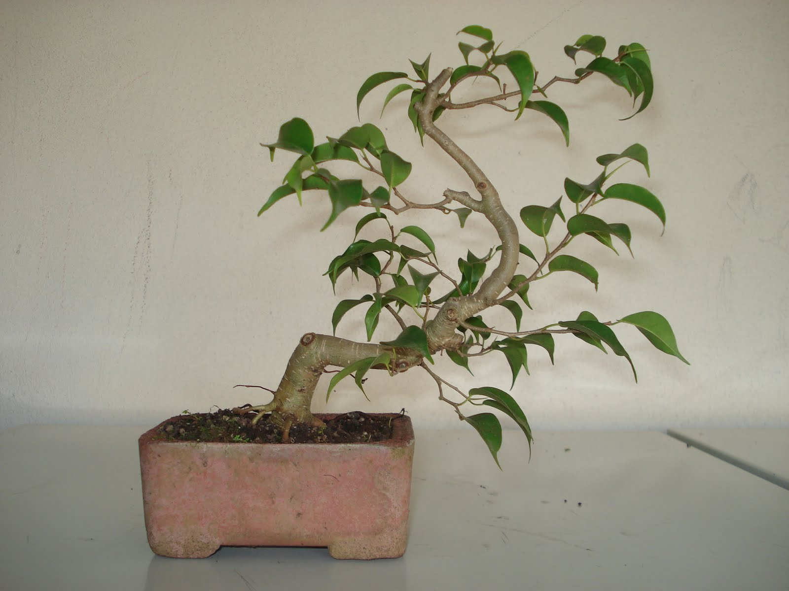 cantinho do tio ed bonsai ficus. Black Bedroom Furniture Sets. Home Design Ideas