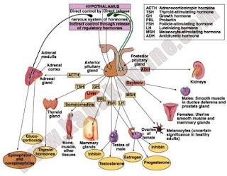 metabolisme_struma_tsh_t3_t4