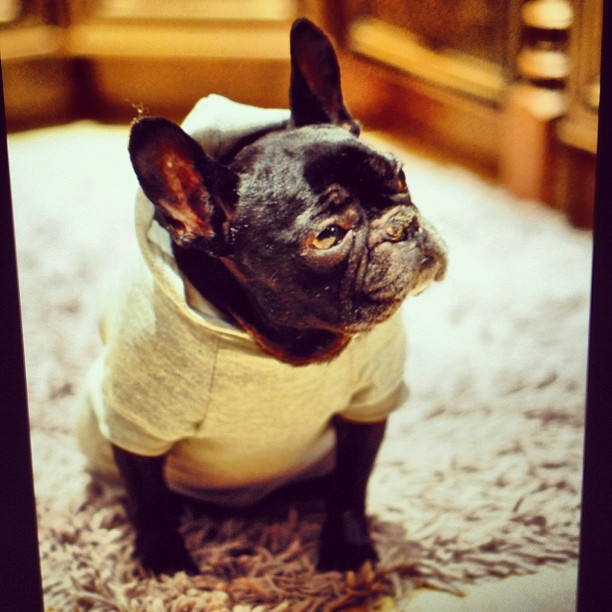 cute frenchie in clothes, french bulldog