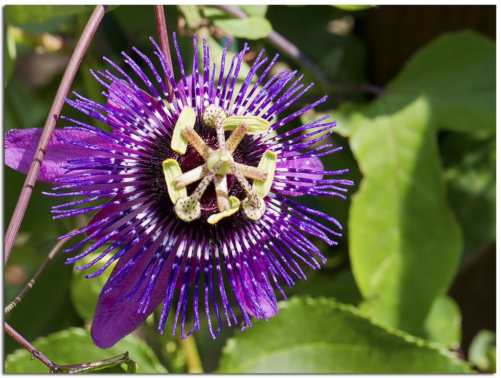 Picture Passion Flower Beautiful Flowers