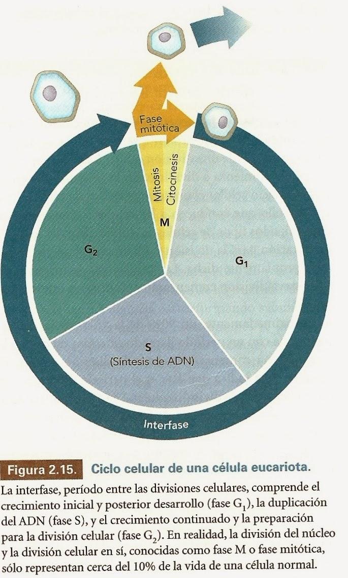 Ciclo celular vegetal | Apuntes de Fisiología Vegetal