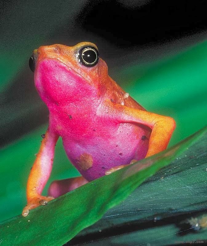 Imagenes de sapos y ranas: Imagen Sapos y ranas: rana colores rosa y ...