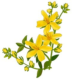 Liste de plantes pour les soins Hypericum_perforatum