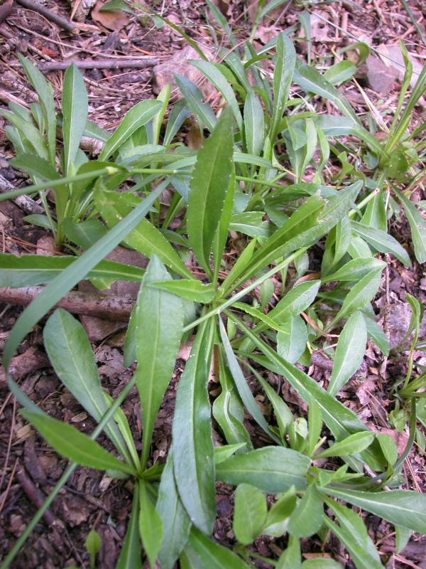Les petites herbes les fleurs arbustes et arbres de la petite ceinture auteuil passy 75 - Campanule a feuilles de pecher ...