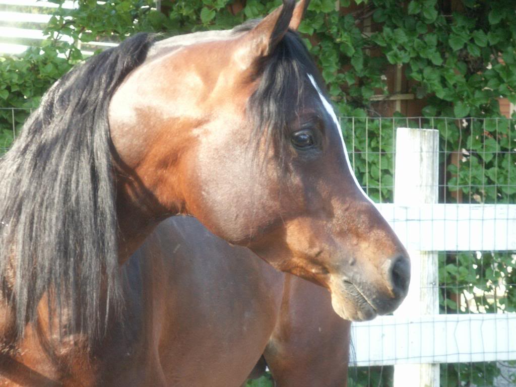 Pictures Blog: Arabian Horse Head