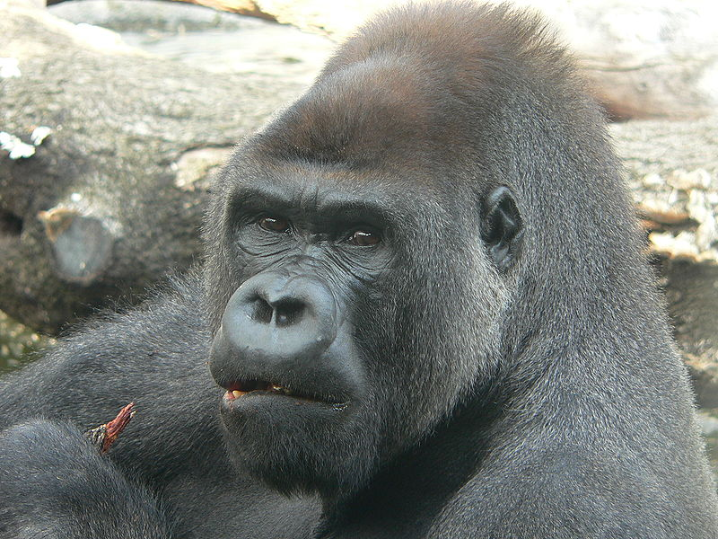 El 30% del genoma del gorila contradice la supuesta filogenia ...