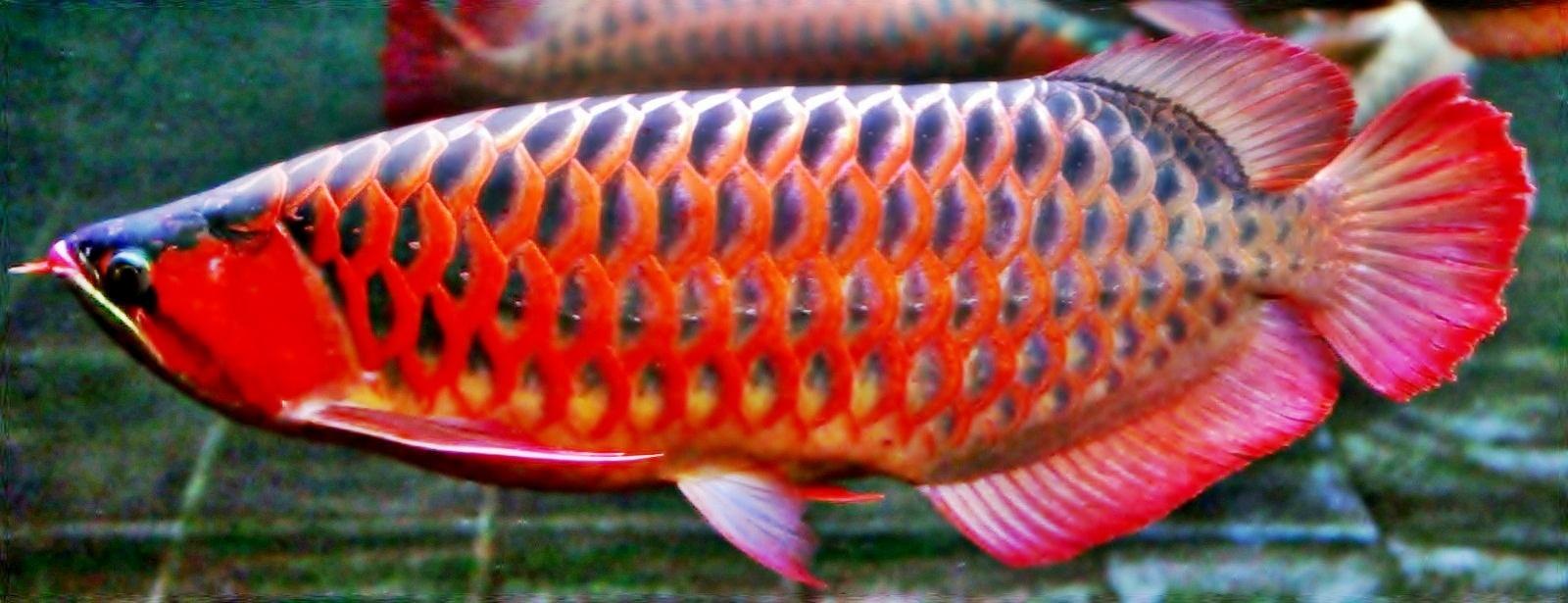 Gambar Perbedaan Ikan Arwana Super Red Banjar Golden Info