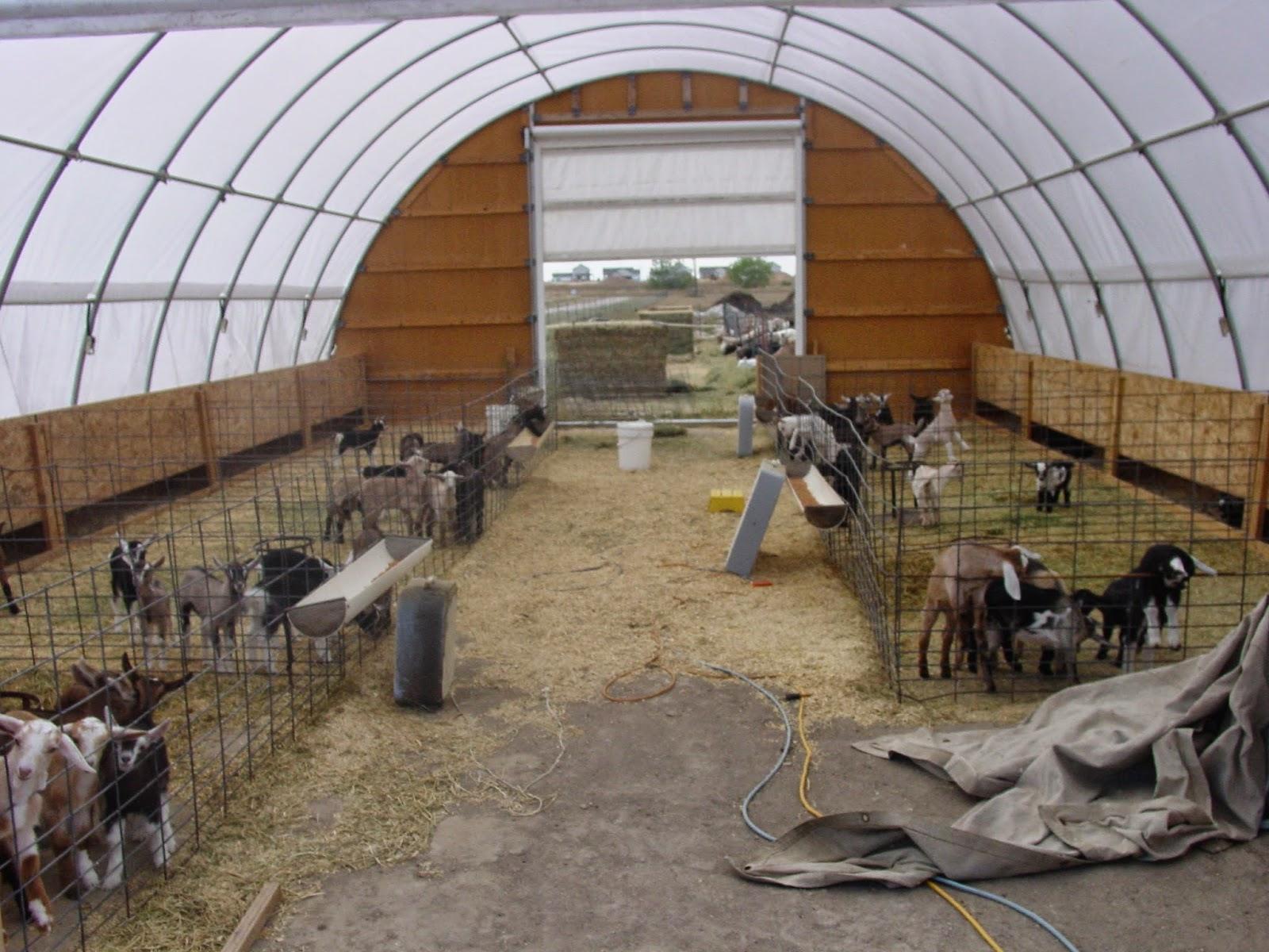 KinderR Communique Kinder Goats In A Commercial Dairy