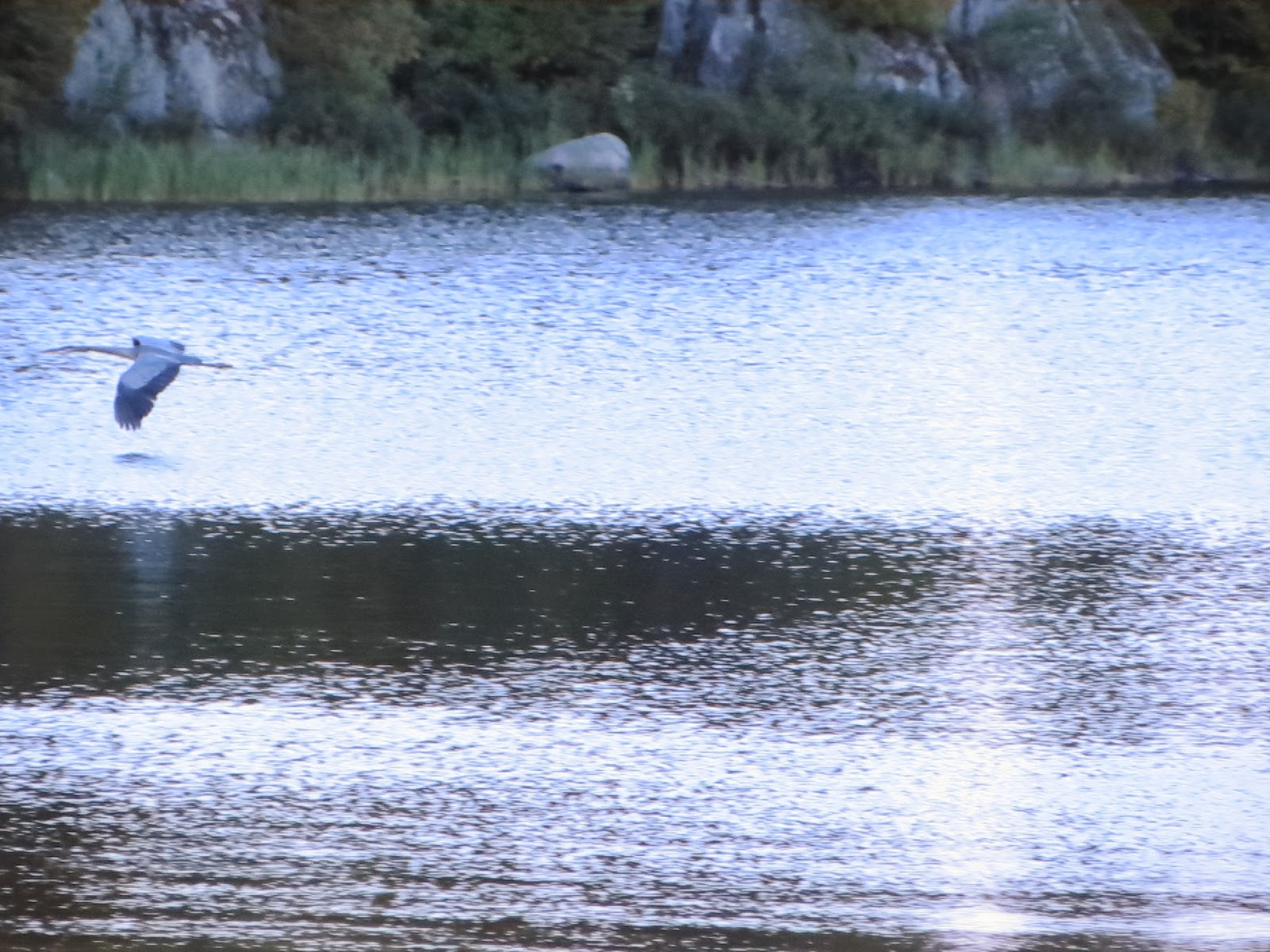 Great, Blue, Heron, Semers park, Ely, Minnesota, Photo by John Huisman