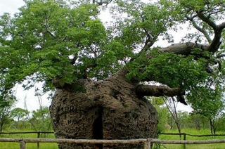 7 Pohon Teraneh Di Dunia