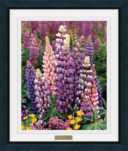 Lupines-Native Beauties