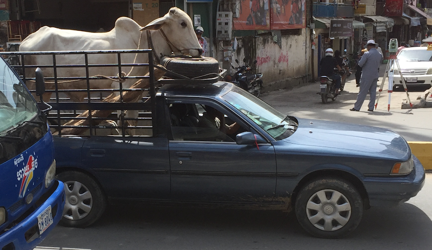 Have Cow will Travel