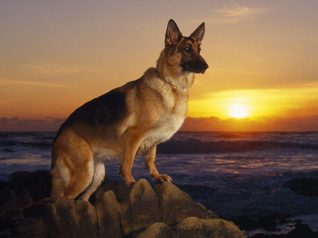 German Shepherd Wallpapers Pets Cute And Docile