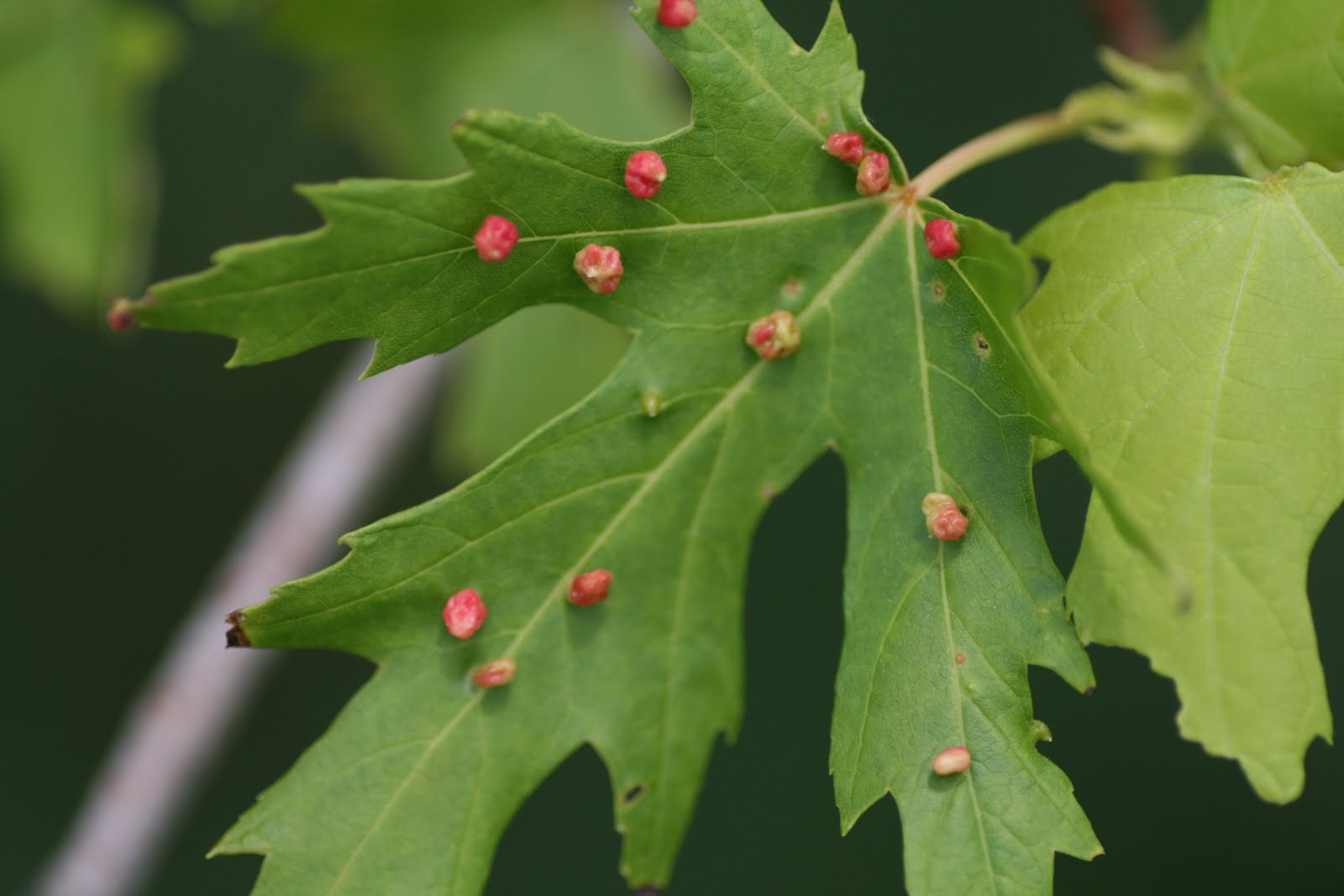 how to grow grass under a red maple