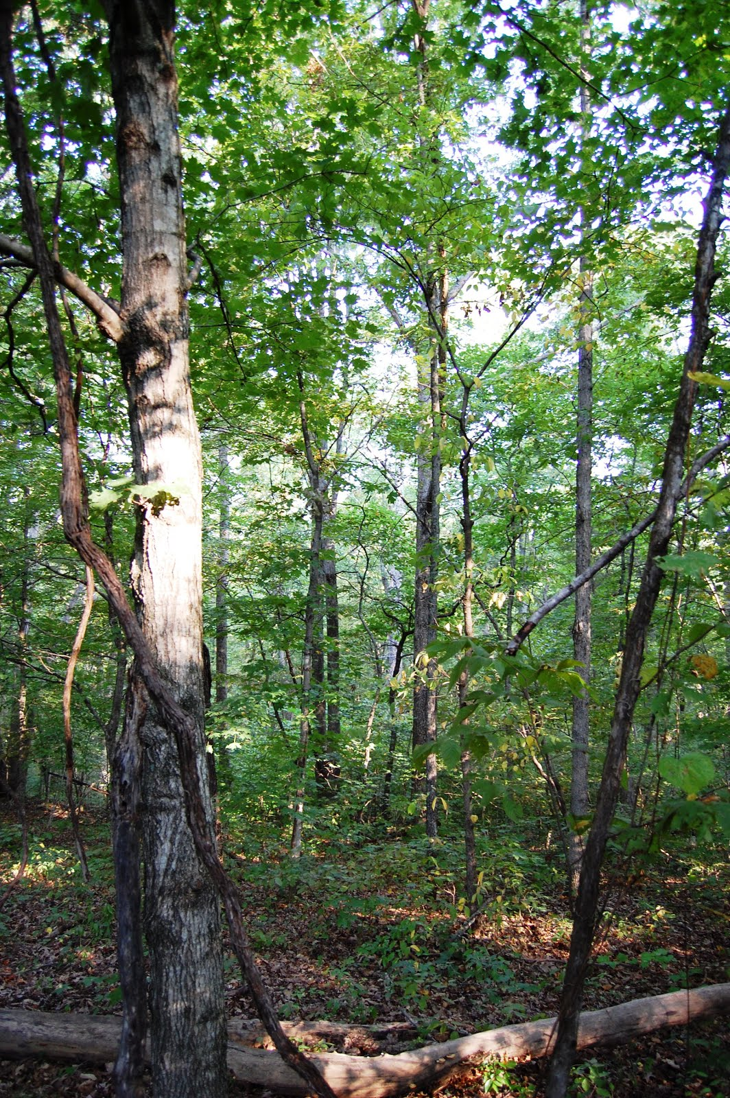 Maple forest on the north slope of our property