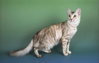 Oriental Cat Picture