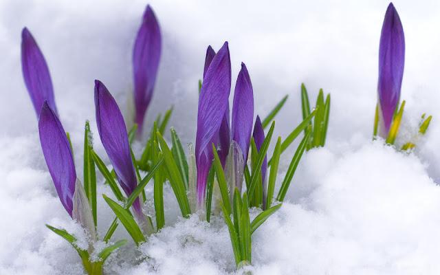 Bureaublad achtergrond met paarse krokussen in de sneeuw tijdens de lente