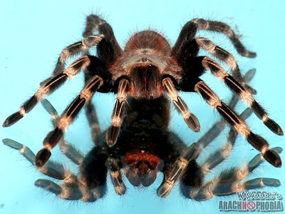 Nhandu Chromatus Tarantula