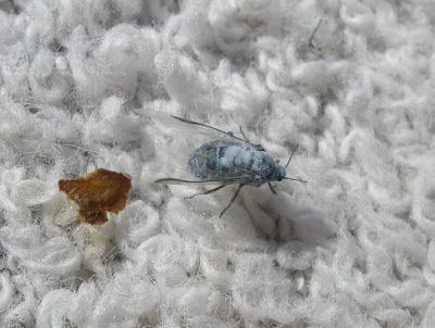 blue fly eaten by gulls