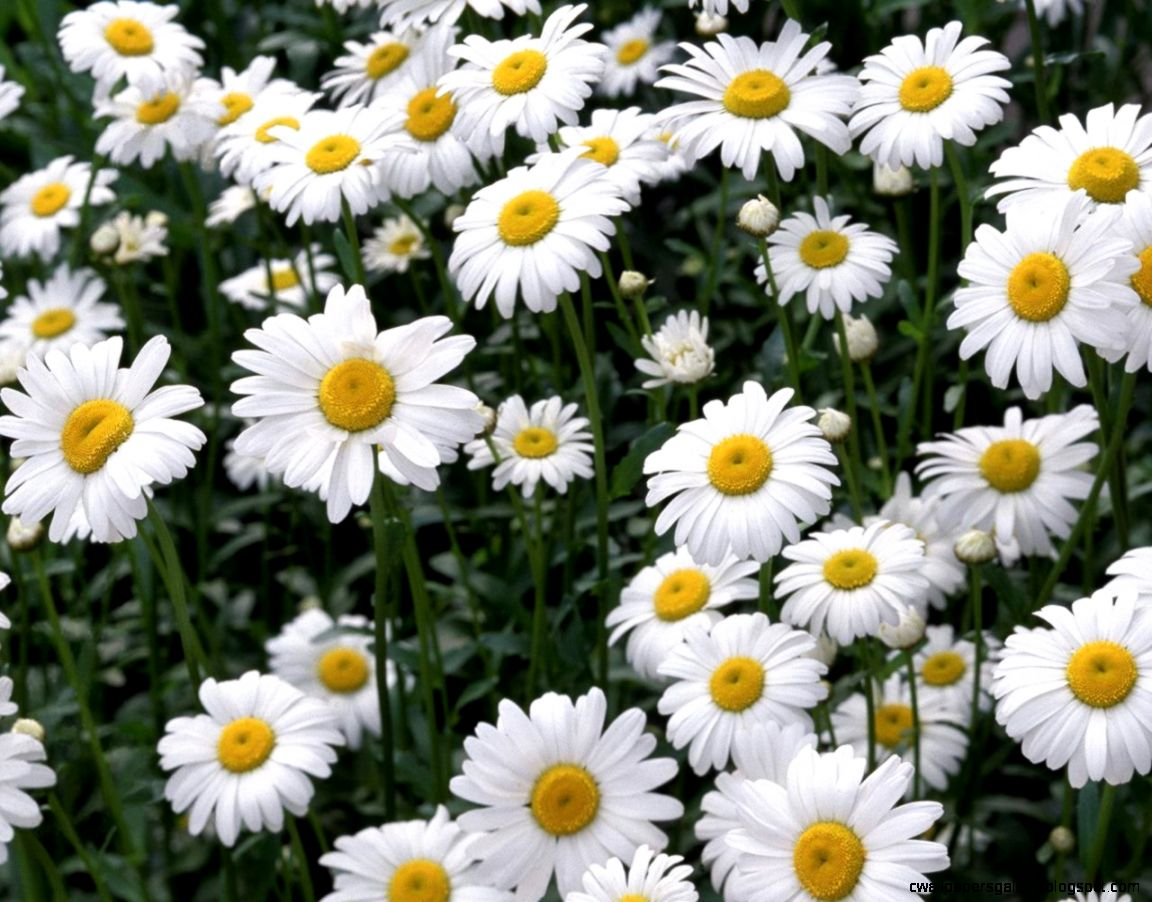 Daisy Wallpaper Backgrounds   Wallpaper Cave
