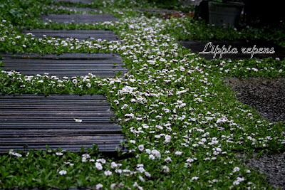 Lippia nodiflora bandeja 28 unidades jardinitis - Jardinitis opiniones ...