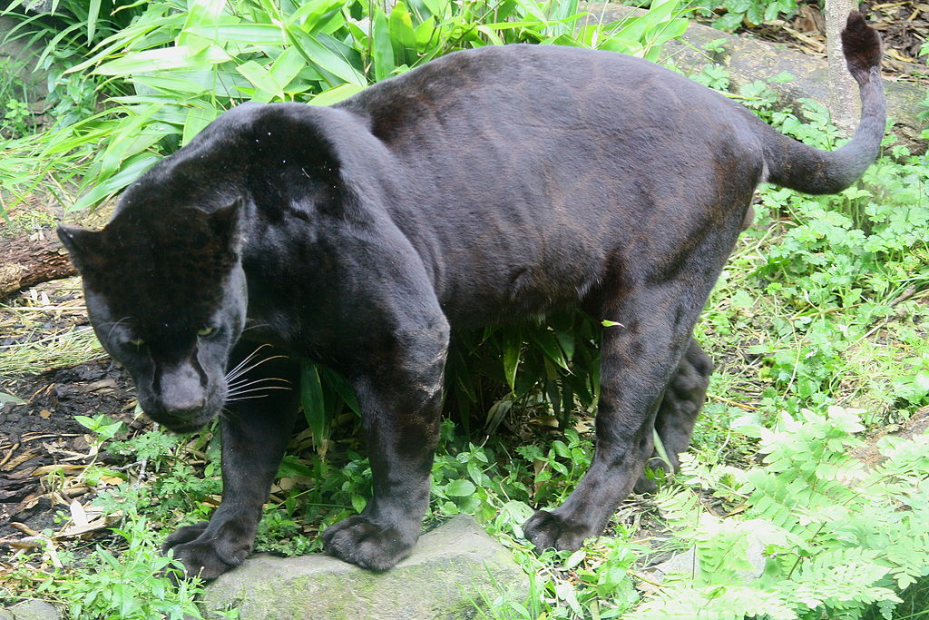 Jaguar (Panthera onca) animales salvajes colombia