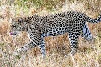 Wildlife, Leopard, killing, India