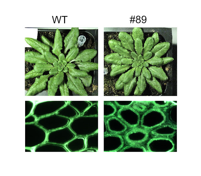 Genetically engineered Arabidopsis plants (#89) yielded as much biomass as wild types (WT) but with enhanced polysaccharide deposition in the fibers of their cells walls. Credit: JBEI