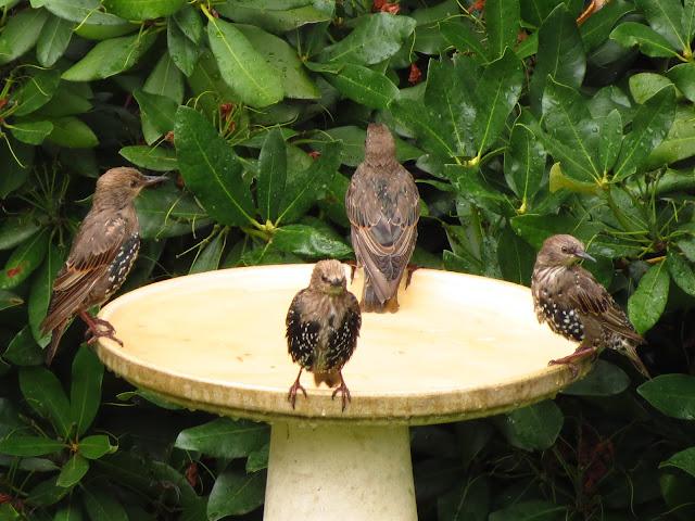 starlings in bird bath