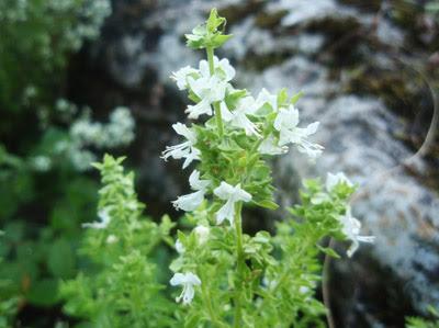 flor de la alb