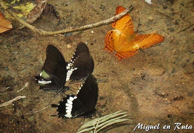 Erawan-butterflies