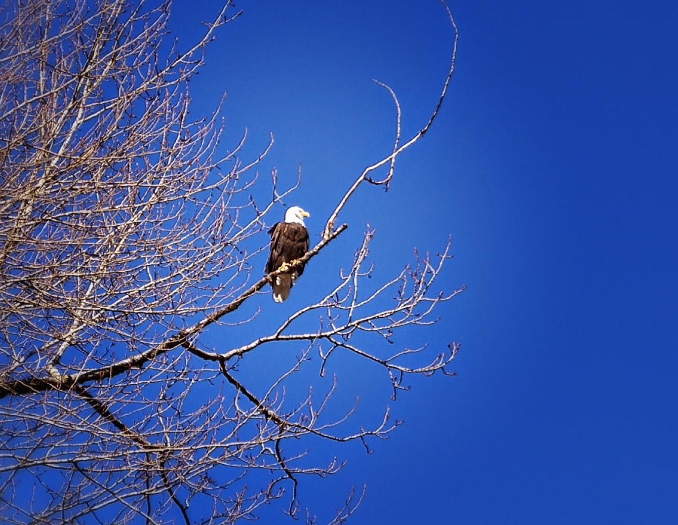 Белоголовый орлан на дереве при въезде в парк Pitt-Addington Marsh