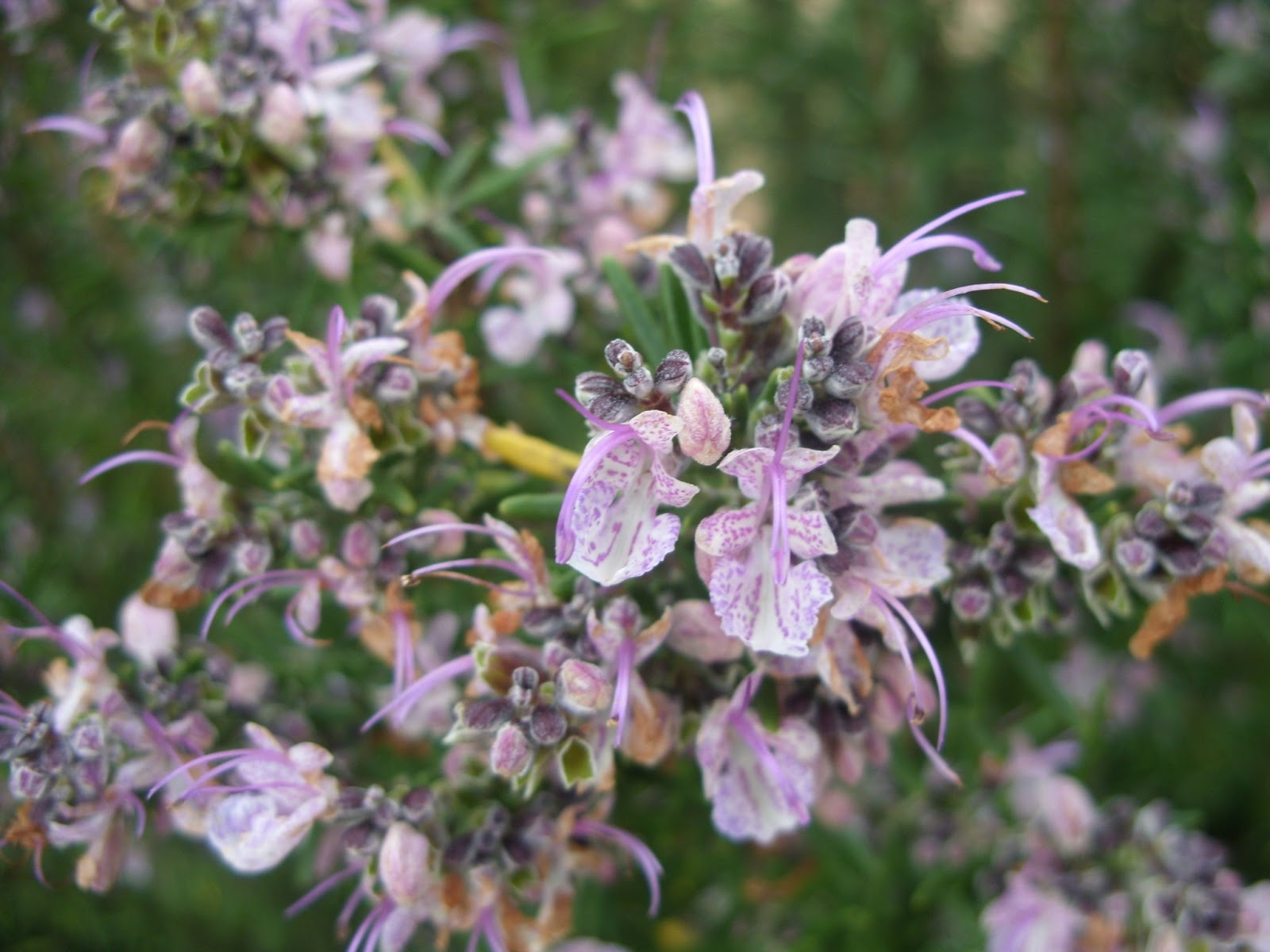 flores no jardim letra:Jardim Autóctone: Alecrim (Rosmarinus officinalis)