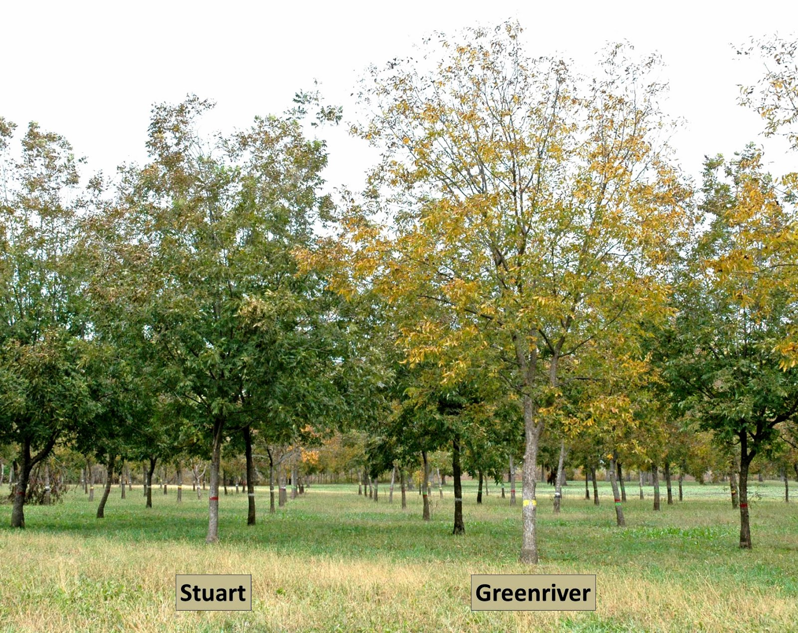 Northern Pecans: Northern pecan cultivars and fall foliage color