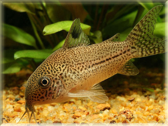 False Julii Cory Catfish Callichthyidae