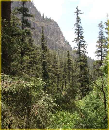 Pico de Tancítaro ( Área protegida) Conifera