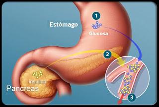 Como se Crea la Insulina y la Glucosa