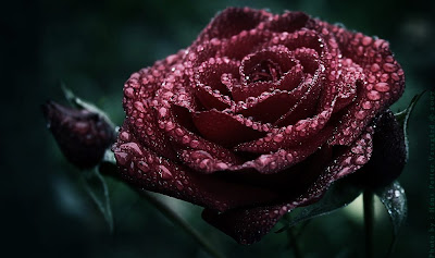 gothic-rose-with-raindrops-wallpaper
