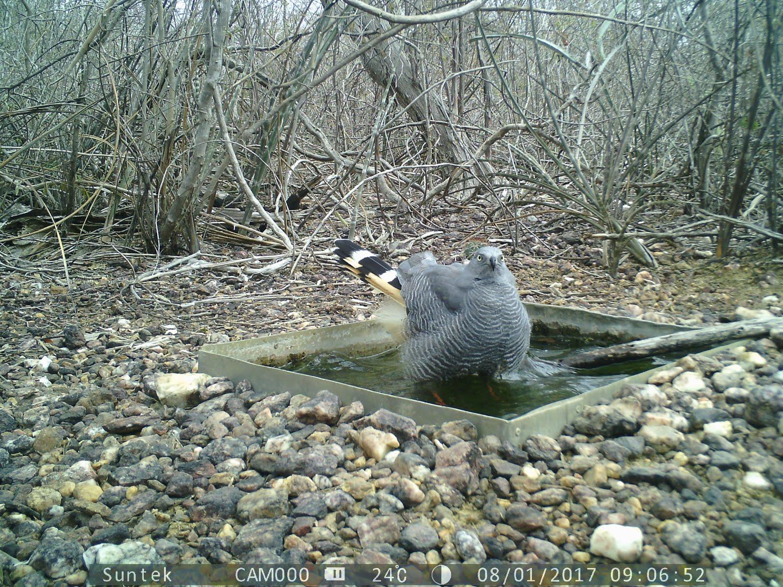 O banho do gavião na caatinga