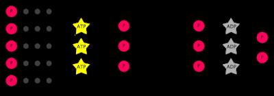 Gambar 4. Tahap regenerasi Siklus Calvin.