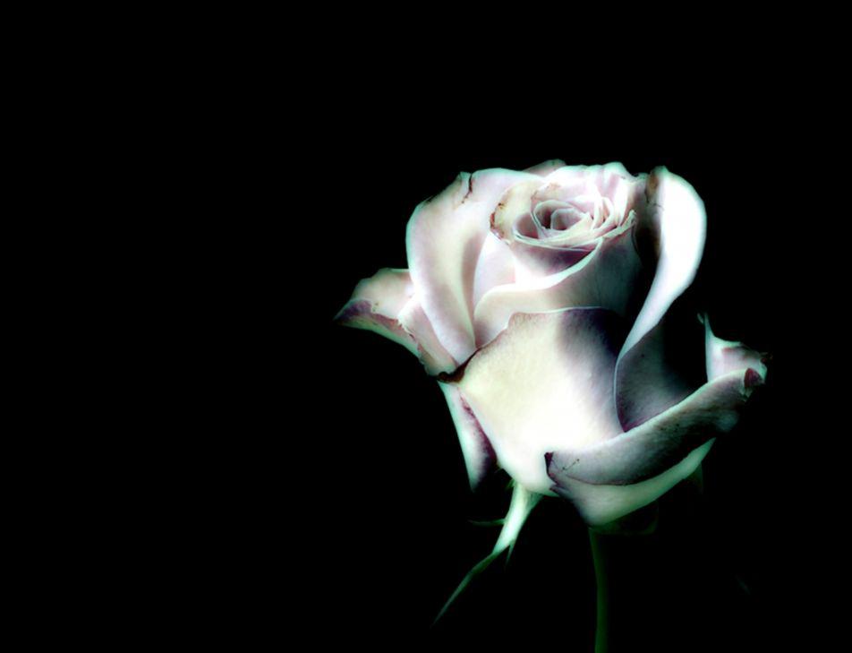black-and-white-roses-wallpaper-wallpapersafari.jpg