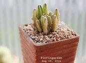 ปราสาทนางฟ้า Cereus peruvianus