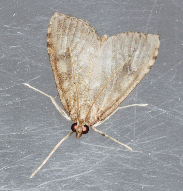 Moth, Udea prunalis.  The antennae are typically held over its back like this.  Keston Common moth trap, 2 July 2011.
