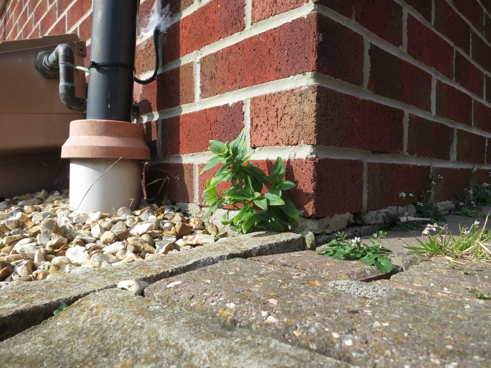 Green leaved plant and little plants with white flowers next to downpipe and gas meter box