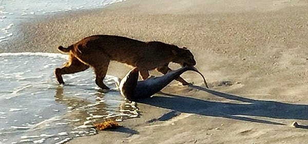 bobcat catches a 4 meter long shark on the beach and drags its food back to the shore - photographer by John Bailey via geniushowto.blogspot.com rare wildelife encounters caught on camera photos and videos