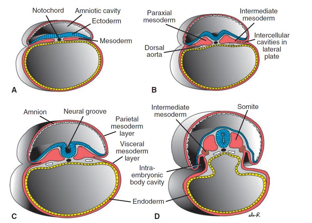 Ciencias de Joseleg: Mesodermo somático