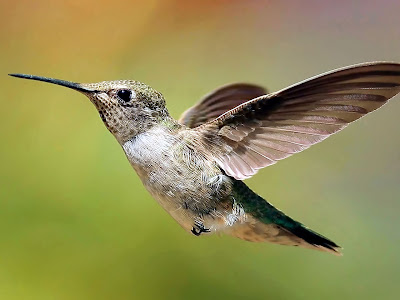 Colibri Hummingbird Background