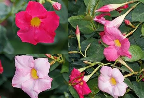 Trepadoras colecci n de hojas y flores for Fachadas con plantas trepadoras